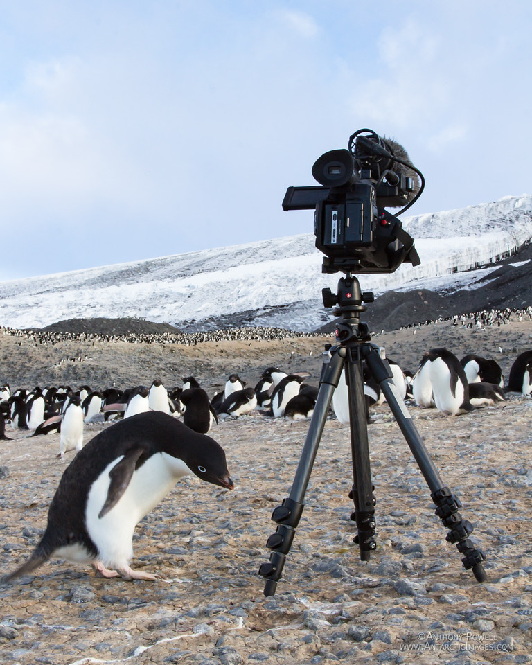 Adelie penguin checking out the camera that is recording the penguins in the distance.