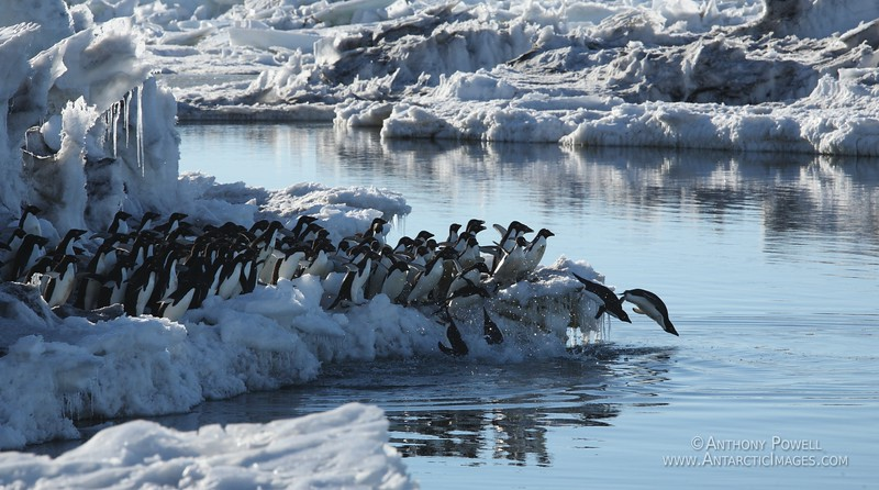 Group of Adelie Penguins diving in together to go fishing