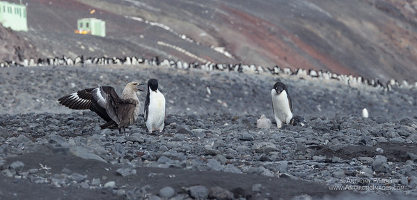 The penguin on the right has just spotted the skua chick on the ground, the adult skua on the left is letting out a warning cry to chase it away.