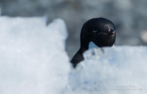 Grumpy penguin