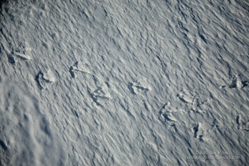 Adelie Penguin footprints in the snow