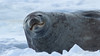 Weddell Seal basking in the sun at Cape Evans