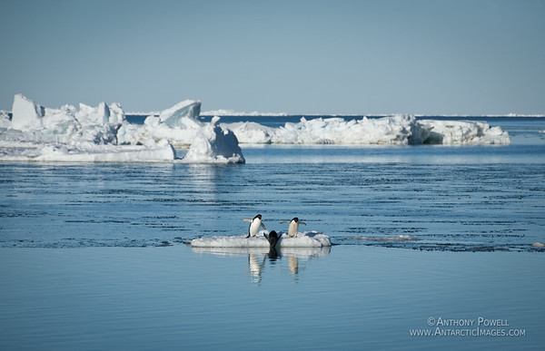 Adelie penguins at Cape Bird.