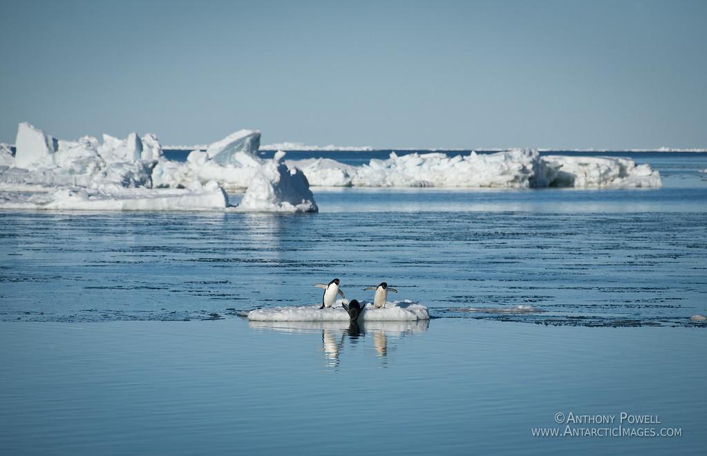Adelie penguins at Cape Bird.