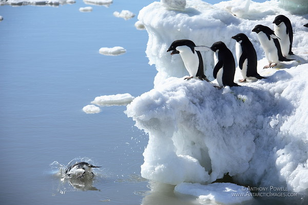 The first of a group of adelie penguins dives into the ocean, while the others look on.