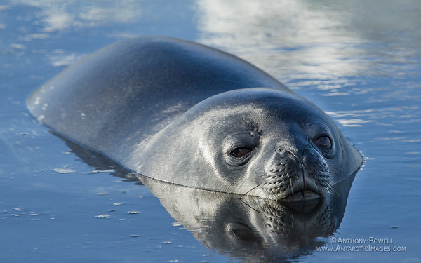Weddell Seal floating