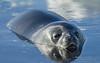 Weddell Seal floating