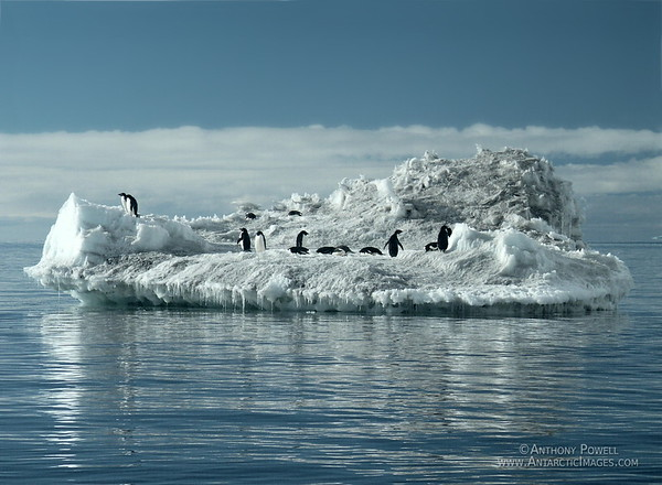 Adelie Penguins floating by on an Ice Berg off Cape Bird.