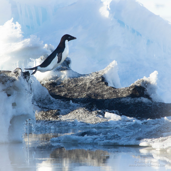 Adelie penguin takes a flying leap