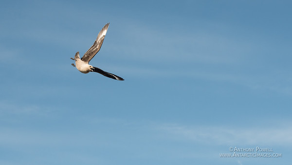 Commencing attack run! <br /> Skua beginning a dive out of the midnight sun to try and steal a penguin chick.