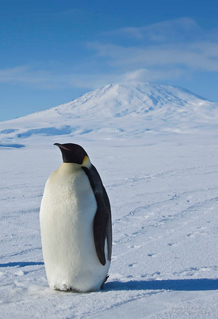 Emperor Penguin and Mount Erebus