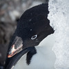 Adelie Penguin sitting in the shade of a piece of ice