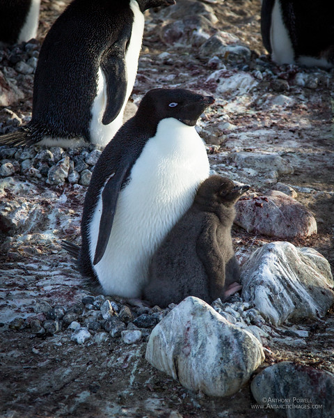 Adelie penguin and chick. This one is just about big enough to be able to  fend off skua attacks on its own.