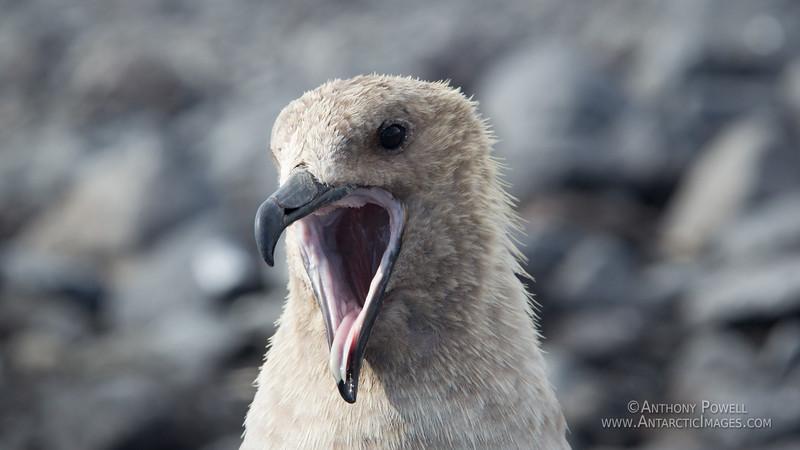 Skua yawn