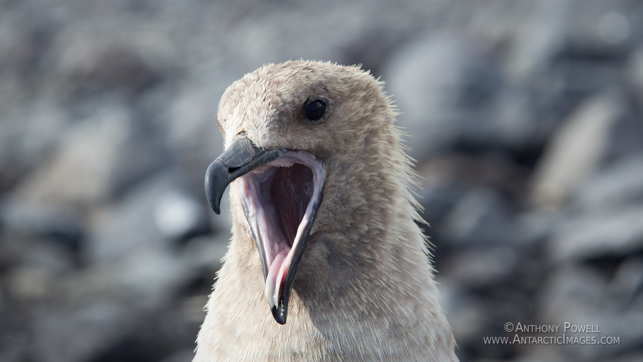 Skua yawn