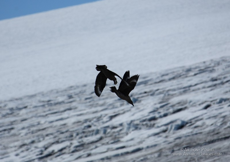 Skuas making off with stolen Adelie Penguin egg. Skuas will often work in pairs when preying on nesting penguins. One will distract the penguin while the other steals the egg.