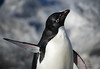 Adelie Penguin shaking himself dry after returning from a fishing trip.