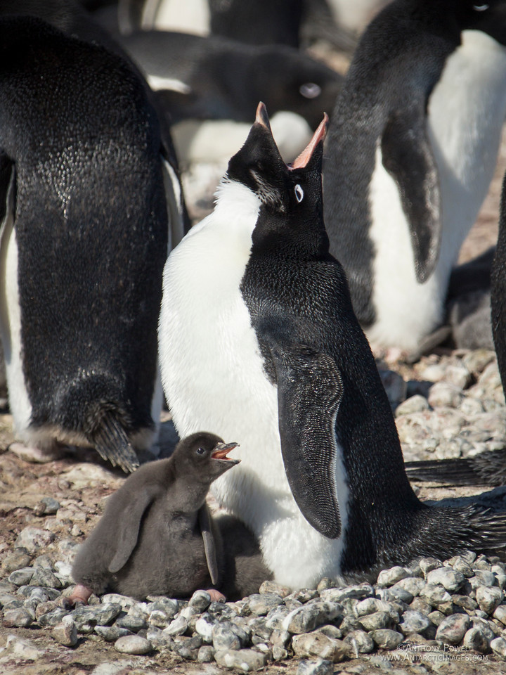 Adelie penguin and chick strike up a duet