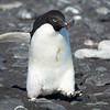 Adelie Penguin headed off to go fishing.