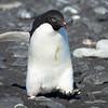 Adelie Penguin headed off to go fishing.