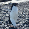 Adelie Penguin with a stone used for building nests