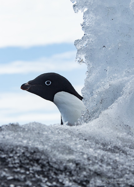 Adelie Penguin peeking out from behind a chunk of shore ice