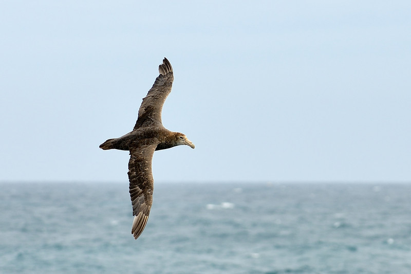 The Southern Giant Petrel (Macronectes giganteus), also known as the Antarctic Giant Petrel, Giant Fulmar, Stinker, and Stinkpot, is a large seabird of the southern oceans. Its distribution overlaps broadly with the similar Northern Giant Petrel, though it overall is centered slightly further south. Adults of the two species can be separated by the colour of their bill-tip: greenish in the Southern and reddish in the Northern.
