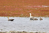 The Upland Goose or Magellan Goose (Chloephaga picta) is a South American member of the duck, goose and swan family Anatidae. It is in the shelduck subfamily, Tadorninae.