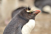 The Western Rockhopper Penguin or American Southern Rockhopper Penguin  (Eudyptes chrysocome chrysocome) breeds around the southern tip of South America