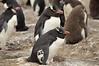 The Western Rockhopper Penguin or American Southern Rockhopper Penguin  (Eudyptes chrysocome chrysocome) with unusual markings