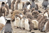 The Western Rockhopper Penguin or American Southern Rockhopper Penguin  (Eudyptes chrysocome chrysocome)  chicks form crèches, a group of many chicks together. A penguin can leave its chick at a crèche while it fishes as a few adult penguins stay behind to look after them.