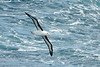 The Black-browed Albatross or Black-browed Mollymawk, Thalassarche melanophrys, is a large seabird of the albatross family Diomedeidae, and it is the most widespread and common albatross.