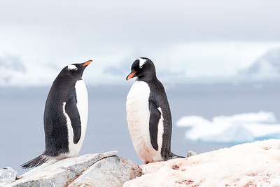 Gentoo Penguins  (Pygoscelis papua) are larger and far more numerous.  They occur further north as well.