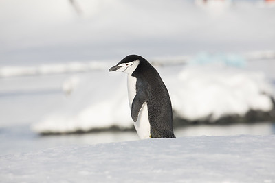 There are several varieties of penguins seen here.  This is a chinstrap (Pygoscelis antarcticus).  While some species wander further north, these rarely do.