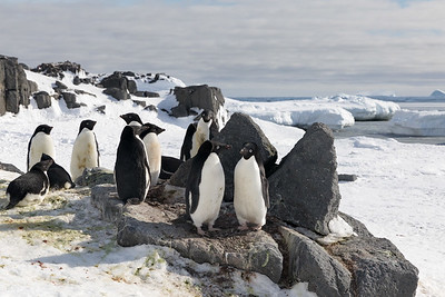 The  Adélie penguin (Pygoscelis adeliae) is another that rarely is seen north of Antarctica.