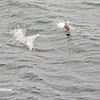 Dolphins, Cape, Birds - _018