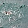 Dolphins, Cape, Birds - _013