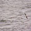 Dolphins, Cape, Birds - _003