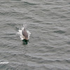 Dolphins, Cape, Birds - _019