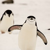 penguins-walking-antarctica