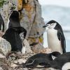 pneguins-half-moon-island