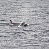 Killer Whales 12-14 - _003