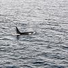 Killer Whales 12-14 - _006