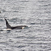 Killer Whales 12-14 - _005
