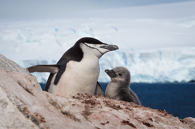 Chinstrap Penguin and chick