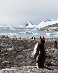 Gentoo penguins also share many islands