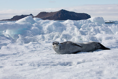 The leopard seal in contrast looks relaxed but unfriendly and is dangerous even to humans