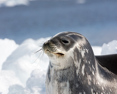 The Weddell Seals seem assured and comfortable resting in the sun