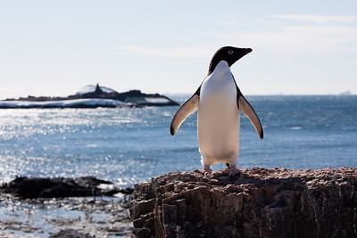 An Adelie penguin curiously looks back at us from his perch
