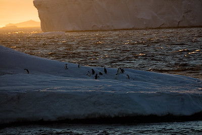 These are Adelies out for an iceberg cruise at sunset